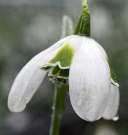 Schneeglöckchen (Varietät)  Galanthus plicatus 'Hippolyta'