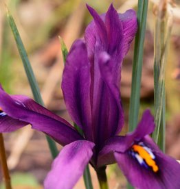 Iris (Kleine Netzblatt) Iris reticulata 'J.S. Dijt'
