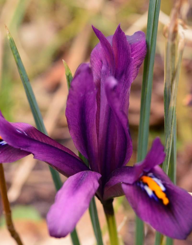 Iris (Kleine Netzblatt) Iris reticulata 'J.S. Dijt' (Kleine Netzblatt Iris)