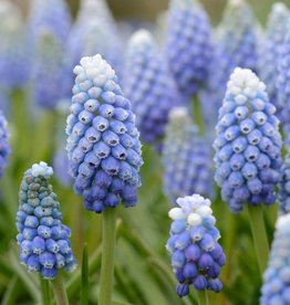 Traubenhyazinthe  Muscari aucheri 'Ocean Magic'