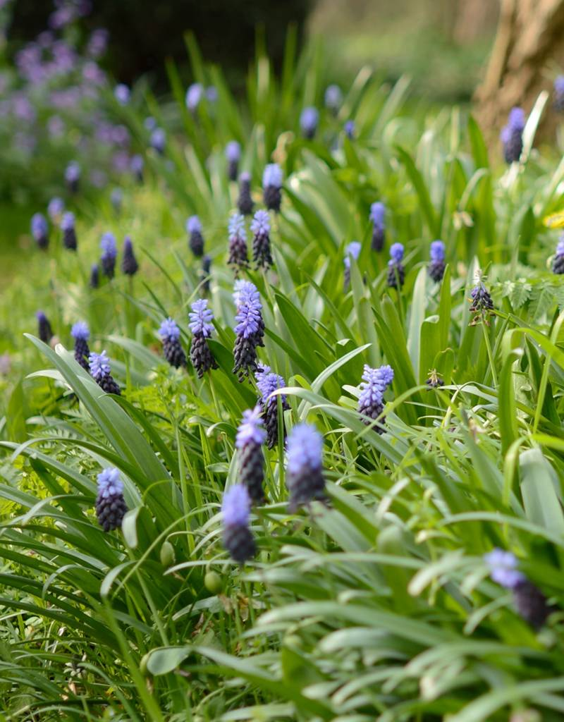 Traubenhyazinthe (Breitblättrige)  Muscari latifolium (Breitblättrige Traubenhyazinthe) - Stinsenpflanze
