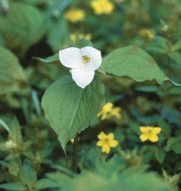 Waldlilie Trillium grandiflorum