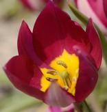 Tulpe (Wild) Tulipa humilis 'Persian Pearl'