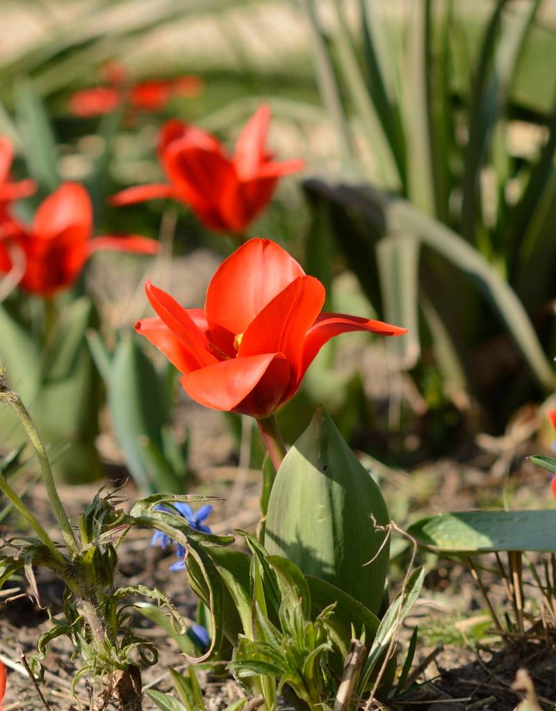 Tulpe (Wild) Tulipa kaufmanniana 'Showwinner'
