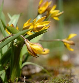 Tulpe (Wild) Tulipa neustruevae