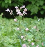 Akelei Aquilegia vulgaris (Saatgut)