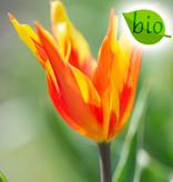 Tulpe  Tulipa 'Fire Wings', BIO