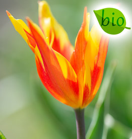 Tulpe  Tulipa 'Fire Wings', BIO