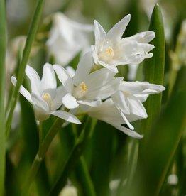 Kegelblume  Puschkinia scilloides var. libanotica 'Alba'