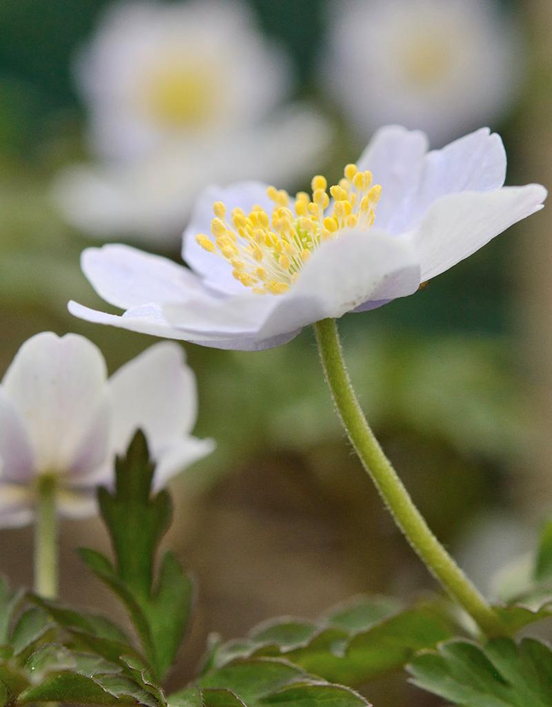 Buschwindröschen  Anemone nemorosa 'Parlez Vous' (Buschwindröschen) - Stinsenpflanze