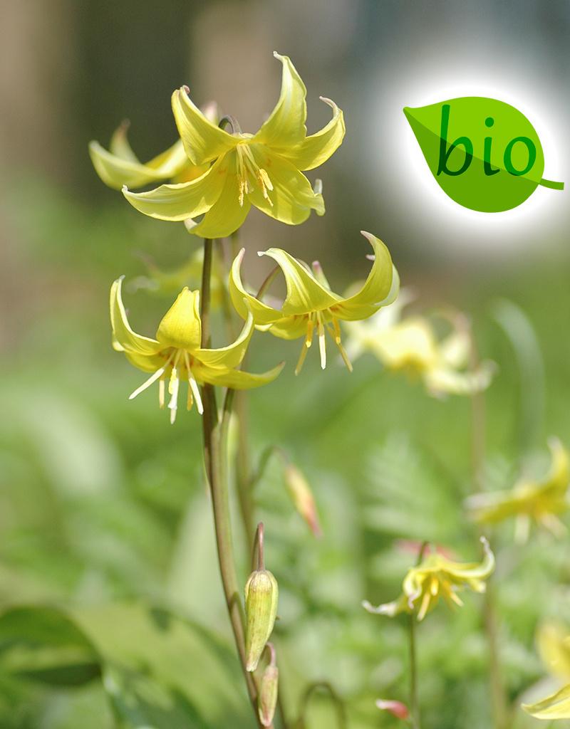 Hundszahn  Erythronium 'Pagoda' (Gelber Hundszahn) - Stinsenpflanze, BIO