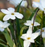 Frühlingsstern  Ipheion uniflorum 'Alberto Castillo' (Frühlingsstern)