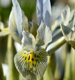 Iris (Kleine Netzblatt)  Iris 'Katharine Hodgkin'
