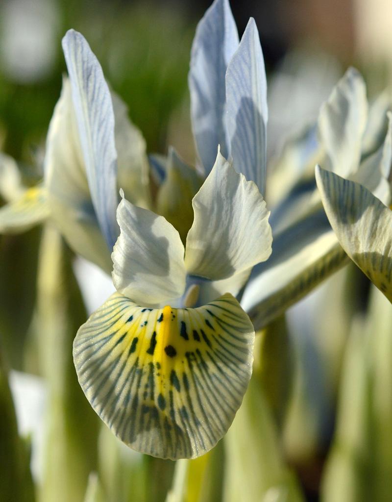 Iris (Kleine Netzblatt)  Iris 'Katharine Hodgkin' (Zwerg-Iris)