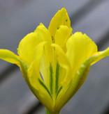 Iris (Kleine Netzblatt)  Iris danfordiae (Kleine Netzblatt Iris)