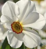 Narzisse (Dichter)  Narcissus 'Actaea'
