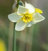Narzisse  Narcissus 'Lieke'
