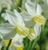Narzisse  Narcissus 'Sailboat', BIO - ANGEBOT