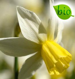 Narzisse  Narcissus 'Sailboat', BIO
