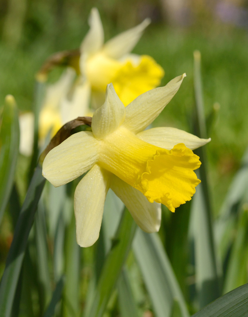 Narzisse  Narcissus 'Topolino'