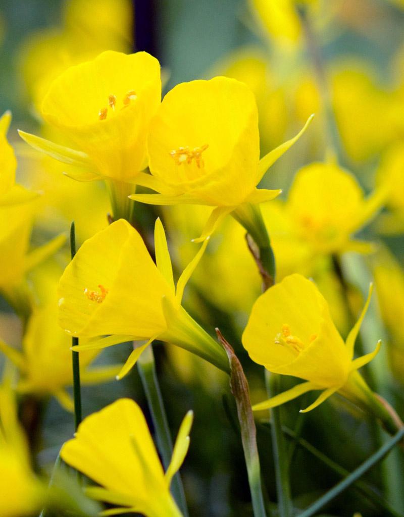 Narzisse (Reifrock)  Narcissus bulbocodium 'Golden Bells' (Reifrock-Narzisse)