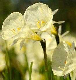 Narzisse (Reifrock)  Narcissus bulbocodium 'Spoirot'
