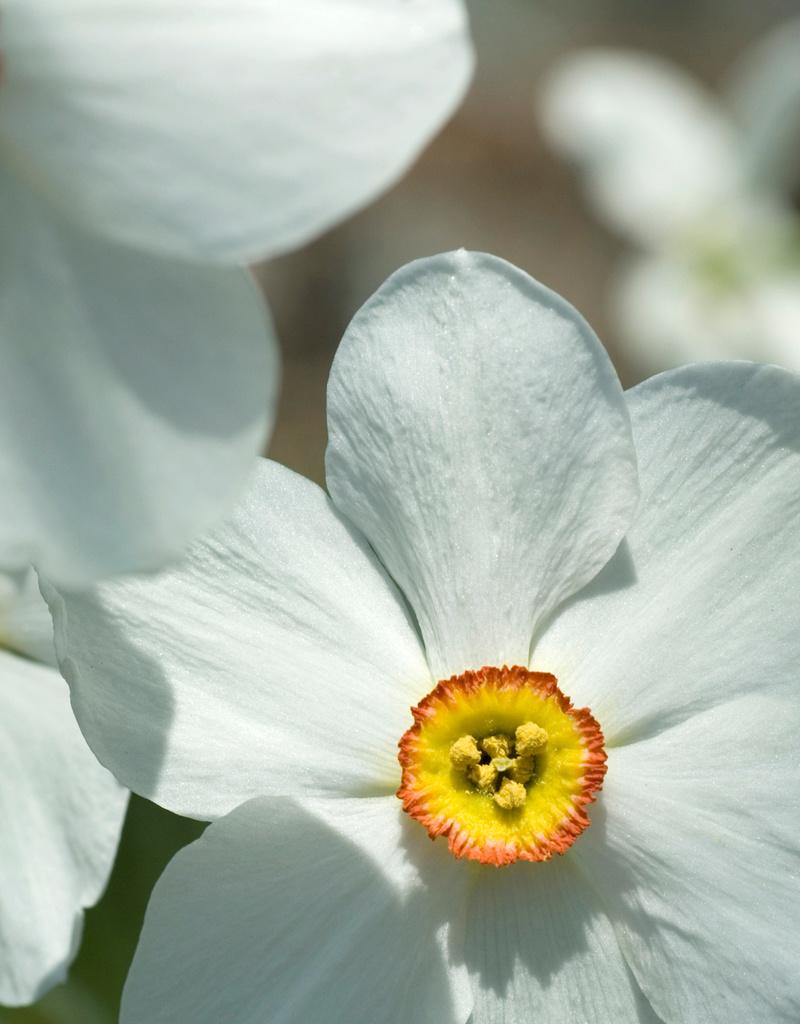 Narzisse (Dichter)  Narcissus poeticus var. Recurvus (Dichter-Narzisse) - Stinsenpflanze
