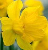 Narzisse (Tenby)  Narcissus pseudonarcissus obvallaris (Tenby Daffodil) - Stinsenpflanze