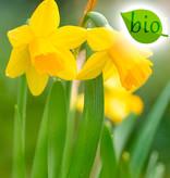 Narzisse  Narcissus 'Tête-à-Tête', BIO