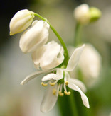 Blaustern (Sibirischer)  Scilla siberica 'Alba' (Sibirischer Blaustern) - Stinsenpflanze