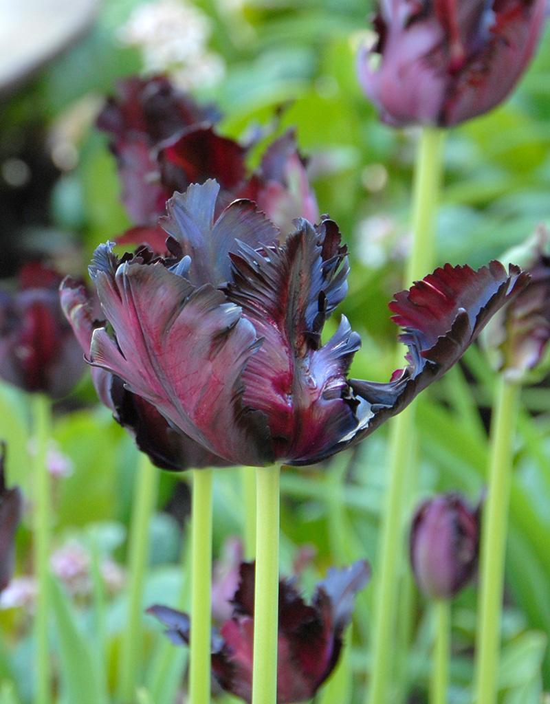 Tulpe  Tulip 'Black Parrot'