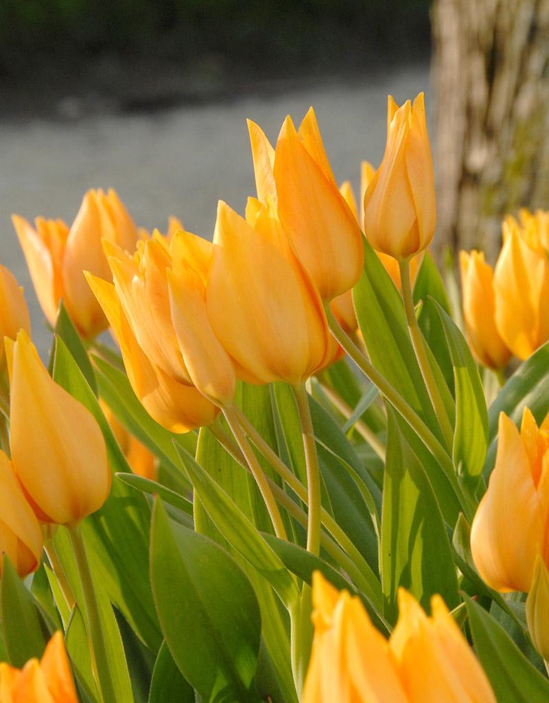 Tulpe  Tulipa praestans 'Shogun'