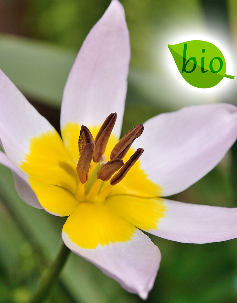 Tulpe  Tulipa saxatilis, BIO