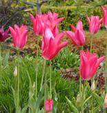 Tulpe  Tulipa ′Mariette′