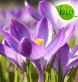 Krokus (Elfen/Dalmatiner)  Crocus tommasinianus 'Ruby Giant', BIO (Elfen/Dalmatiner Krokus) - Stinsenpflanze