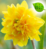 Narzisse  Narcissus 'Tête Rosette', BIO