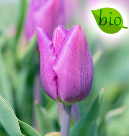 Tulpe  Tulipa 'Purple Flag', BIO