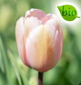 Tulpe  Tulipa 'Salmon Impression', BIO