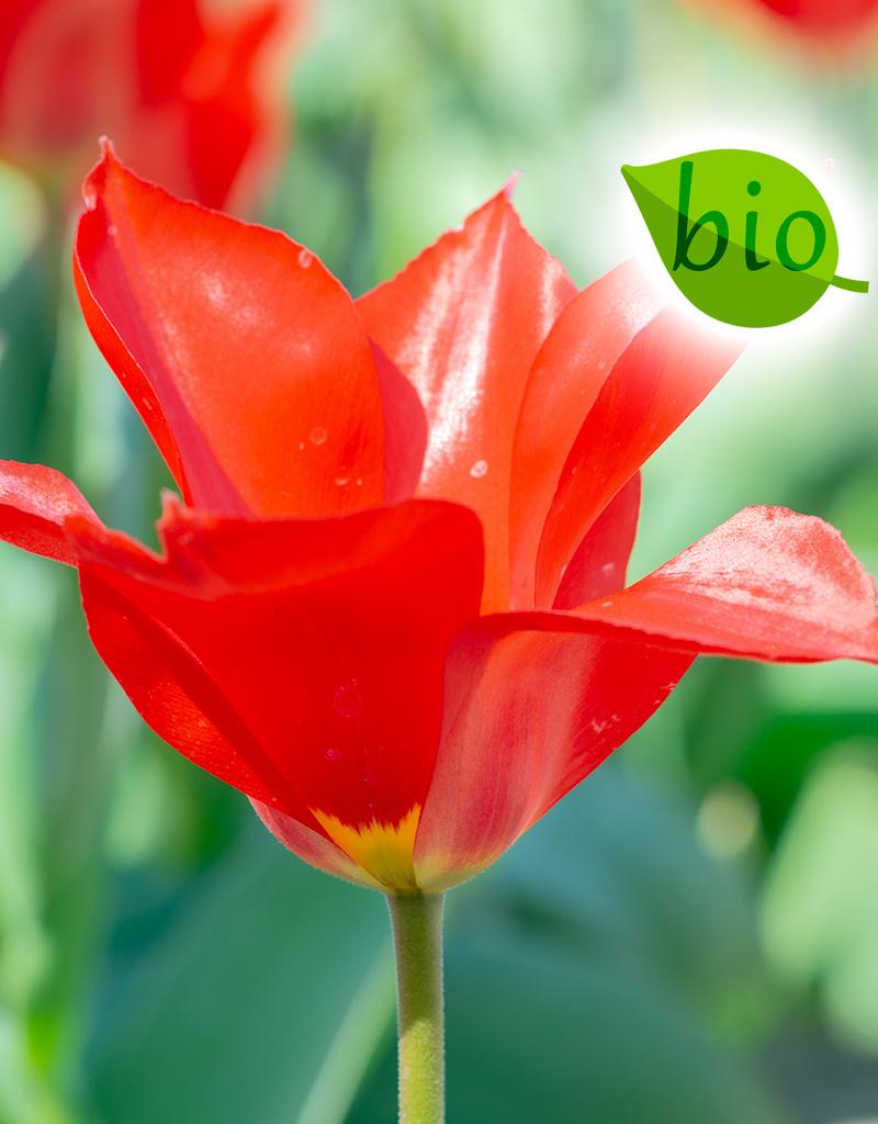 Tulpe  Tulipa ingens, BIO (Tulpe) - ANGEBOT