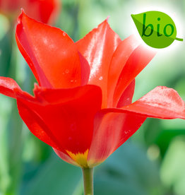 Tulpe  Tulipa ingens, BIO
