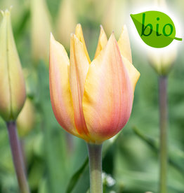 Tulpe  Tulipa 'Blushing Lady', BIO