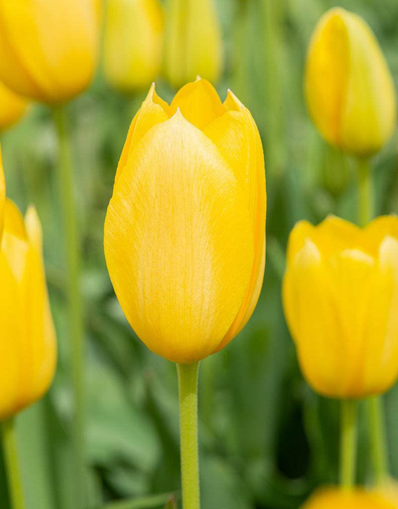 Tulpe  Tulipa 'Muscadet', BIO
