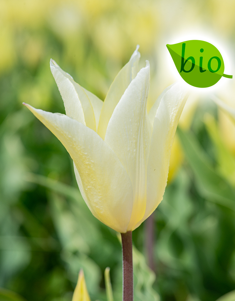 Tulpe  Tulipa 'Sapporo', BIO
