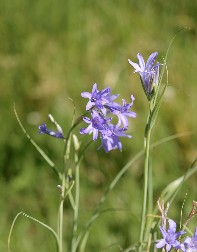 Berg-Blaulilie  Ixiolirion tataricum (Berg-Blaulilie)