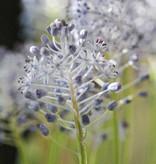 Blaustern (Amethyst)  Scilla litardierei (Amethyst-Blaustern)