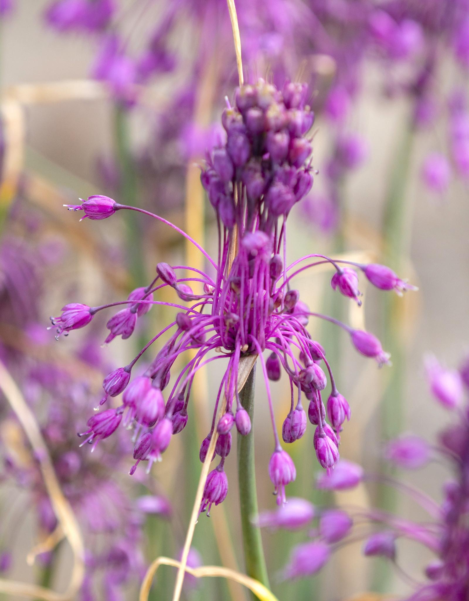 Lauch  Allium carinatum ssp. pulchellum (Gekielter Lauch)