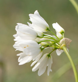 Lauch  Allium zebdanense
