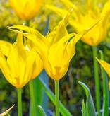 Tulpe  Tulipa 'Flashback'