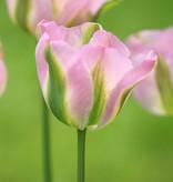 Tulpe  Tulipa 'Groenland' (Tulpe)
