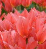 Tulpe  Tulipa 'Toronto' (Tulpe)